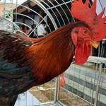 Con gà giá 27 triệu đồng