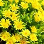 Hoa cúc vàng kiêu hãnh