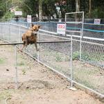 Độc đáo đua chó xoáy Phú Quốc