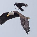 Cuộc chiến giữa đại bàng và chim sẻ